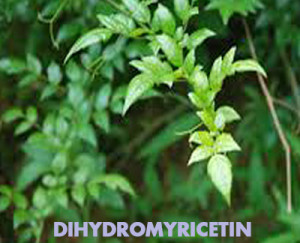 dihydromyricetin tree