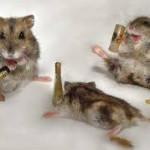 Dihydromyricetin Rats