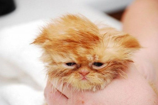 hangover_cat_8