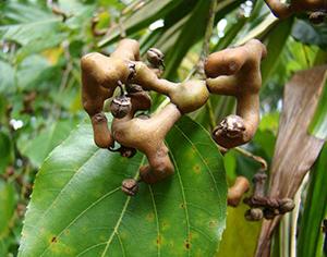hovenia dulcis fruit